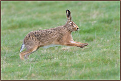 Brown Hare (image 1 of 3) (Full Moon Images) Tags: wildlife nature animal mammal brown hare running run