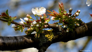 Kirschblüten ( Explore vom 5.04.2017)