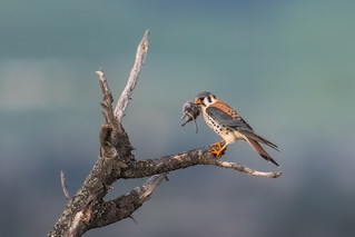 American kestrel (male) with a vole