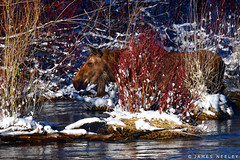 River Walk (James Neeley) Tags: moose idaho wildlife snakeriver jamesneeley