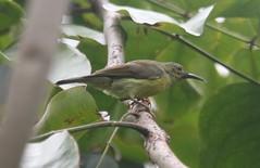 Olive-backed Sunbird (cinnyris jugularis) (mrm27) Tags: singapore sataybythebay sunbird olivebackedsunbird cynniris cynnirisjugularis