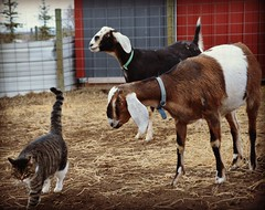 In a barn full of goats, I will still stare at you, you silly cat. (2-Dog-Farm) Tags: inabarnfullofgoatsiwillstillstareatyouyousillycat copyright 2017 please contact 2dogfarm tigerlily barncat boy strolling honeyberry goat female mieko nubian dirt hay straw barn