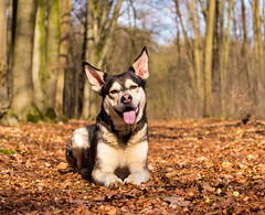 Looking all cute (*Jyl*) Tags: dog dogs pets pet nature outside woods forrest husky alaskan malamute