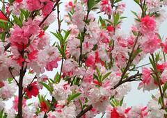 * Meravglia di un albero  * Wonder of a tree  * (argia world 1) Tags: albero alberoornamentale giardino fioritura colori primavera tree ornamentaltree garden blossom colours springtime