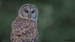 Muscatatuck NWR Barred Owl (flintframer) Tags: owl barred nwr muscatatuck nature wow dattilo wildlife birds hunting canon eos 7d markii ef600mm 14x