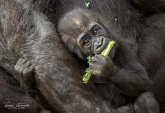 Leslie (ToddLahman) Tags: leslie kokamo winston westernlowlandgorilla baby babygorilla gorilla mammal outdoors sandiegozoosafaripark safaripark escondido eyelock kale canon7dmkii canon canon100400 closeup