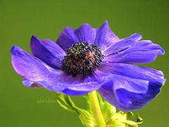 Anemone (abrideu) Tags: abrideu canon anemone flower depthoffield macro purple petals plant outdoor ngc npc