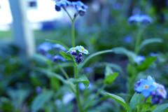 remember (nelescholten) Tags: blue forgetmenot flower nature macro dreamy spring sunlight fragile