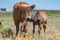 A mare suckling her young foal (bechwiya) Tags: jument poulain cheval animal mare foal morocco fantasia