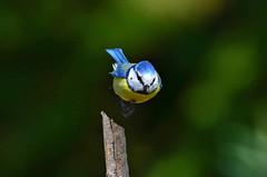 DSC_3865 (sylvettet) Tags: bird oiseau animal action 2017 mésangebleue bluetit extérieur nature vol décollage inflight