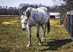 White horse approaching (jsleighton) Tags: animal horse farm white walking approaching