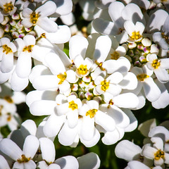 White Carpet (Pixelated Sky) Tags: floret peace carpet flower iberis compoundflower purity yellow cover white