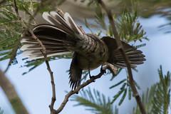 Meet the Fan Tail :-) (Derek Midgley) Tags: dsc3321 grey fantail mooning rhipiduraalbiscapa sb