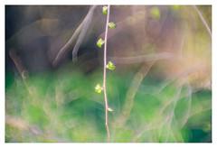 La Primavera (leo.roos) Tags: buds knoppen takken branches spring lente a7 zeissikonvariotalonmc7012035 reversed talon projectorlens projectionlens darosa leoroos carlzeiss