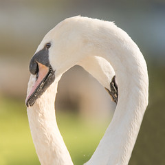 Mute swans making shape of heart with necks (Ian Redding) Tags: cygnusolor beauty birds breeding courtship dance eternal forlife heart heartshaped love lovers mates pair purity romance romantic shape soulmates swans white