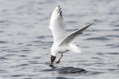 Black headed gull (Shane Jones) Tags: blackheadedgull gull seabird sea flight bird birdinflight wildlife nature nikon d500 200400vr tc14eii
