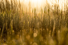 grass in the morninglight (SteffPicture) Tags: grass graslandschaft gräser grassland bokeh naturbokeh morning morninglight steffpicture golden