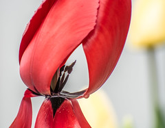 Still Beauty. (Omygodtom) Tags: red yellow green tulip flower flickr macro bokeh april up down leica explorer existinglight zeiss nature natural nikon d7100 nikon70300mmvrlens garden portrait park oregon portland perspective composition