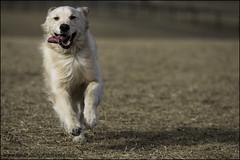 14-52 - living the good life (Dave (www.thePhotonWhisperer.com)) Tags: 52weeksfordogs 52weeksforbruno goldenretriever happy tongue run park dogpark spring