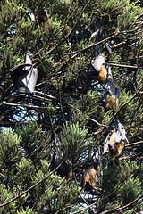DSC (856) (wanderamore) Tags: srilanka botanicalgardens peradeniya flyingfox