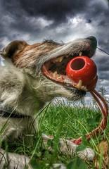 Easterdog Anton (Oliver Kuehne) Tags: anton jrt parsonjackrussellterrier bayern bavaria germany lgg5 dog hund chien playwithdogs april2017 easter ostern2017