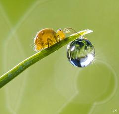 La collembole et la goutte (2). (gille33) Tags: gillesremus nature macro insecte insect insectes collembola goutte drop drops droplet waterdrop waterdrops green vert sun soleil nikond810 sigma150 bokeh