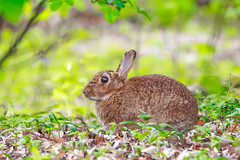 Forest friend (P & Y Photography) Tags: nature wild rabbit bunny easter canon 5diii 5d3 animal 70300 forest woods green plants bokeh