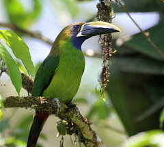 Emerald Toucanet (vischerferry) Tags: emeraldtoucanet toucanet bird tropical animal aulacorbynchusprasinus panama canopylodge toucan canon70d bluethroatedtoucanet