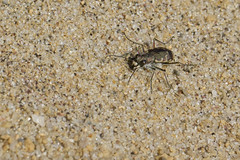 Tiger Beetle (brucetopher) Tags: tigerbeetle tiger beetle cicindela beach beachtigerbeetle insect bug critter creature tiny beauty beautiful pattern elytra maculations shell camouflage fast tease frustrating elusive animal outdoor