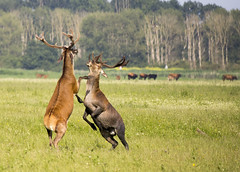Oostvaardersplassen (Hans van der Boom) Tags: nederland netherlands ijsselmeerpolders flevopolder oostvaarderplassen animal hert edelher reddeer fighting balts lelystad nl perpetualwinner