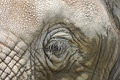 D3X_2068 (Akira Uchiyama) Tags: 動物たちのいろいろ 目 目ゾウアフリカゾウ