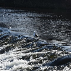 Waiting for The Fish. (clarktom845) Tags: seagulls river dumfries dumfriesshire nith water
