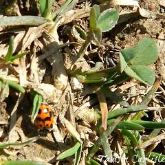 Oblong Ladybird (tinlight7) Tags: ladybird ladybug beetle insect uttarakhand india taxonomy:kingdom=animalia animalia taxonomy:phylum=arthropoda arthropoda taxonomy:subphylum=hexapoda hexapoda taxonomy:class=insecta insecta taxonomy:subclass=pterygota pterygota taxonomy:order=coleoptera coleoptera taxonomy:suborder=polyphaga polyphaga taxonomy:infraorder=cucujiformia cucujiformia taxonomy:superfamily=coccinelloidea coccinelloidea taxonomy:family=coccinellidae coccinellidae taxonomy:subfamily=coccinellinae coccinellinae taxonomy:tribe=coccinellini coccinellini inaturalist:observation=5734830 taxonomy:genus=hippodamia hippodamia oblongladybirds taxonomy:common=oblongladybirds oblong red black