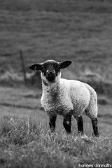 Lamb (Hannes Dannath) Tags: field animals black white grass animal germany countryside country baby rural farm sheep grassland lamb dike bw