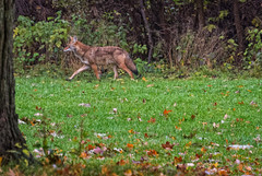 WalkingCoyote (jmishefske) Tags: coyote park wild animal playground wisconsin kids children franklin nikon october milwaukee v1 2014 whitnall halescorners