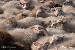 Sheeppen