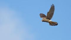 Kestrel Over Bradgate (Jigsaw-Photography-UK) Tags: blue sky cloud bird hunting prey kestrel hovering of jpproductionsuk