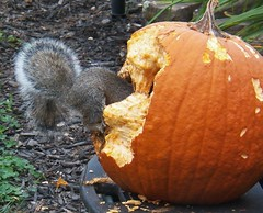 Really getting into this (MissyPenny) Tags: autumn orange pumpkin squirrel explore pumpkincarving easterngreysquirrel southeasternpa