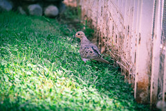 Dove (emmmmpai) Tags: california autumn light summer bird fall nature grass animal outside pretty afternoon dove utdoors