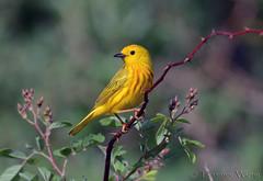 Yellow Warbler (male) (av8s) Tags: nature birds photography nikon pennsylvania wildlife sigma pa warbler songbirds yellowwarbler perchingbirds d7100 nescopeckstatepark 120400mm