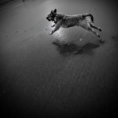 . . . runnin' BT (orangecapri) Tags: borderterrier dog dogrunning seaside sand blackandwhite bw ldl thelittledoglaughed georgetheborderterrier george explore explored jumpingdog littledoglaughedstories orangecapri ldlnoir littledoglaughednoiretblancet beeninexplored bt border terrier