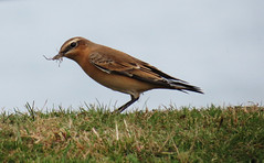 Wheatear (Oenanthe oenanthe) (Martin Cooper Ipswich) Tags: bird norfolk aves northern wheatear oenanthe passeriformes muscicapida cromere