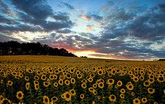 Sunset over Sunflowers (zuni48) Tags: sunset sky clouds rural landscape farm maryland sunflower harfordcountymaryland m