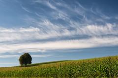 """The Tree - September 2014"" (helmet13) Tags: sky tree sunshine clouds cornfield raw meadow silence harmony simplicity chestnut thetree oldfriend aoi 100faves peaceaward heartaward world100f d800e"