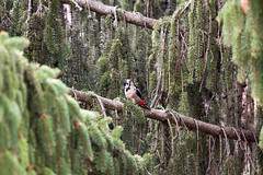 A Great Spotted Woodpecker (Lu7h13n) Tags: brown tree green bird canon woodpecker branch wildlife great urbanwildlife tele spotted graz coniferous conifer 200mm eos500d