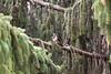 A Great Spotted Woodpecker (KarinKPhoto) Tags: brown tree green bird canon woodpecker branch wildlife great urbanwildlife tele spotted graz coniferous conifer 200mm eos500d