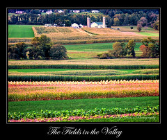 Amish Fields (Kelly_Heaton_Photography) Tags: usa brown green rural america landscape photography countryside corn pennsylvania amish rows american fields kelly farms lancastercounty tobacco heaton harvesting