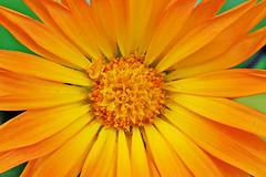 joyful marigold (LotusMoon Photography) Tags: flowers orange color macro fall