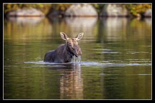 Soggy Moose...{Explored}