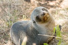 Ohau point (Andrea Schaffer) Tags: newzealand spring nz seals southisland pup aotearoa neuseeland nieuwzeeland 2014 nuevazelanda  furseals nouvellezlande ohaupoint   canon70d canonef70300mmf456lisusm